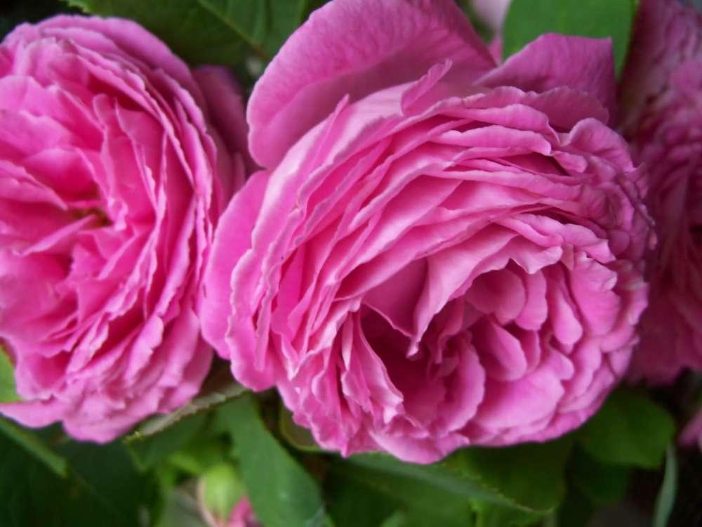 Rose spoon sweet (Glyko triantafyllo)