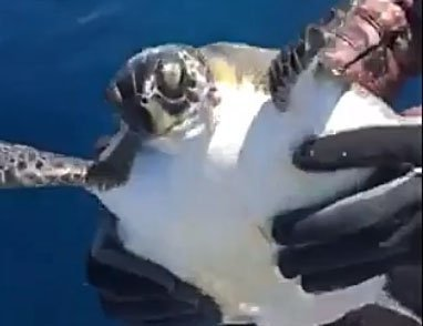 Turtle freed from plastic ring off north coast of Cyprus (video)
