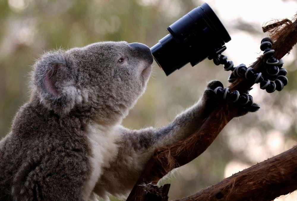 Koalas starve as residents destroy trees to stop bushfires on Australian island