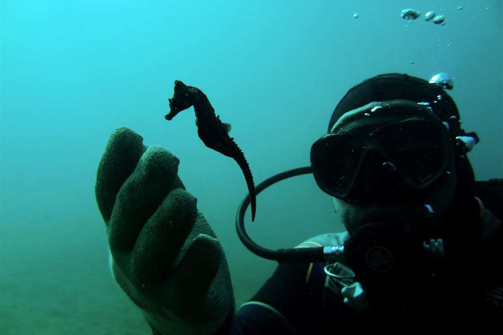 Experts seek to protect rare colony of seahorses in northern Greece