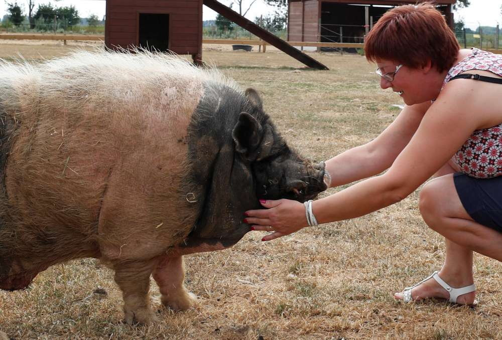 Pastis the pig lives high on the hog in Belgian retirement home