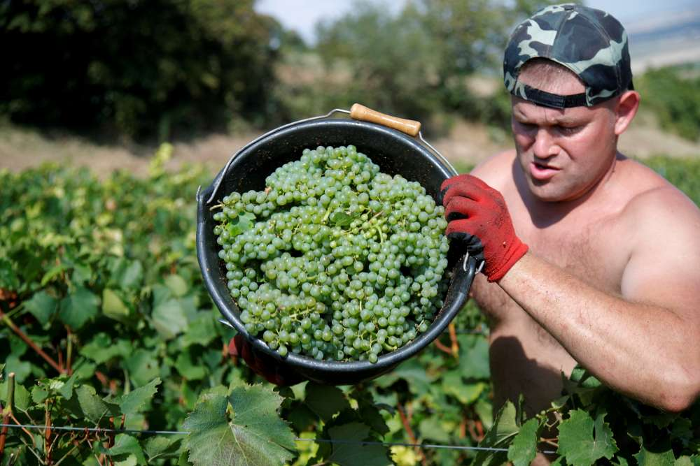 Santé! French wine output set for rebound as harvest races ahead