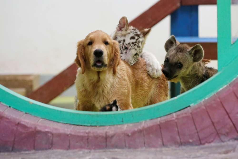 Puppy love: lion