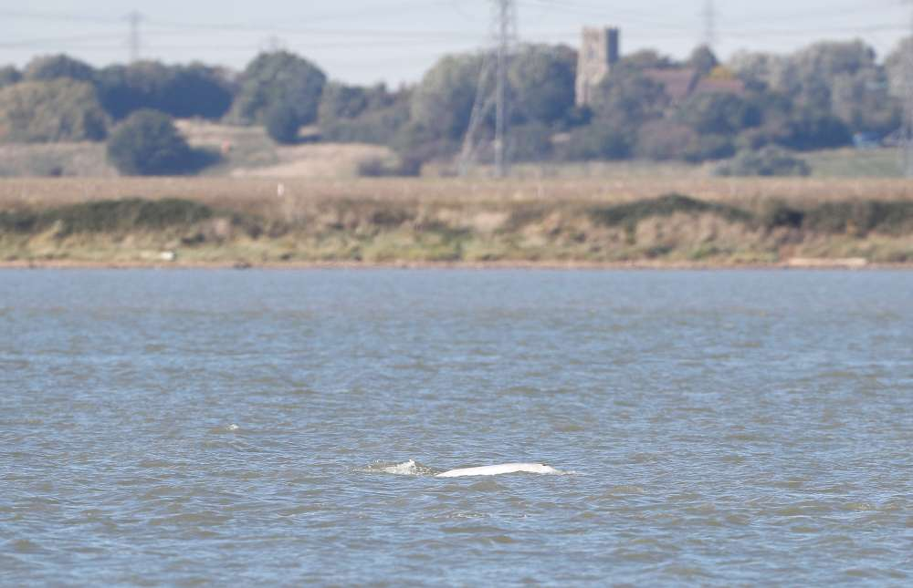 White Beluga whale surfaces again in River Thames near London