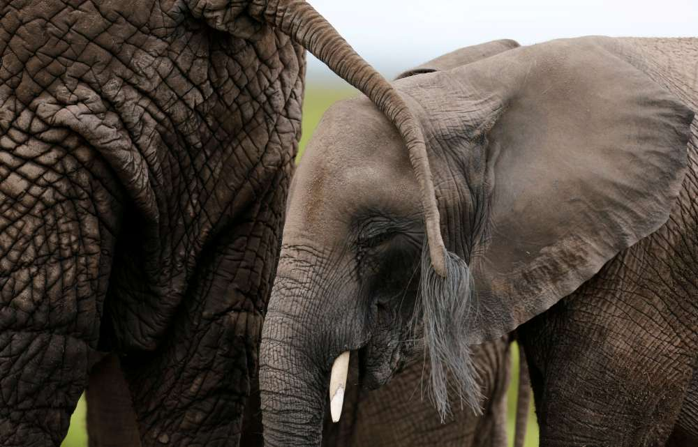 For African bush elephants