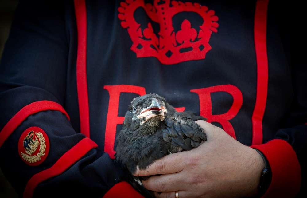 Raven chicks in the Tower ward off prophecy of doom for Brexit Britain (photo)