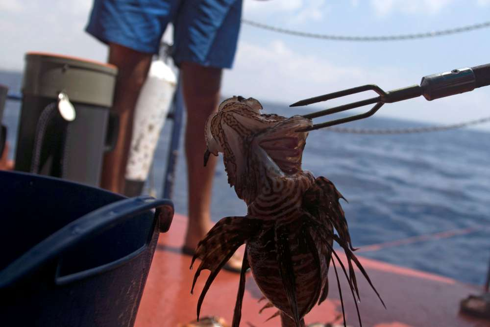 Lionfish invasion in Cyprus? If you can't beat 'em