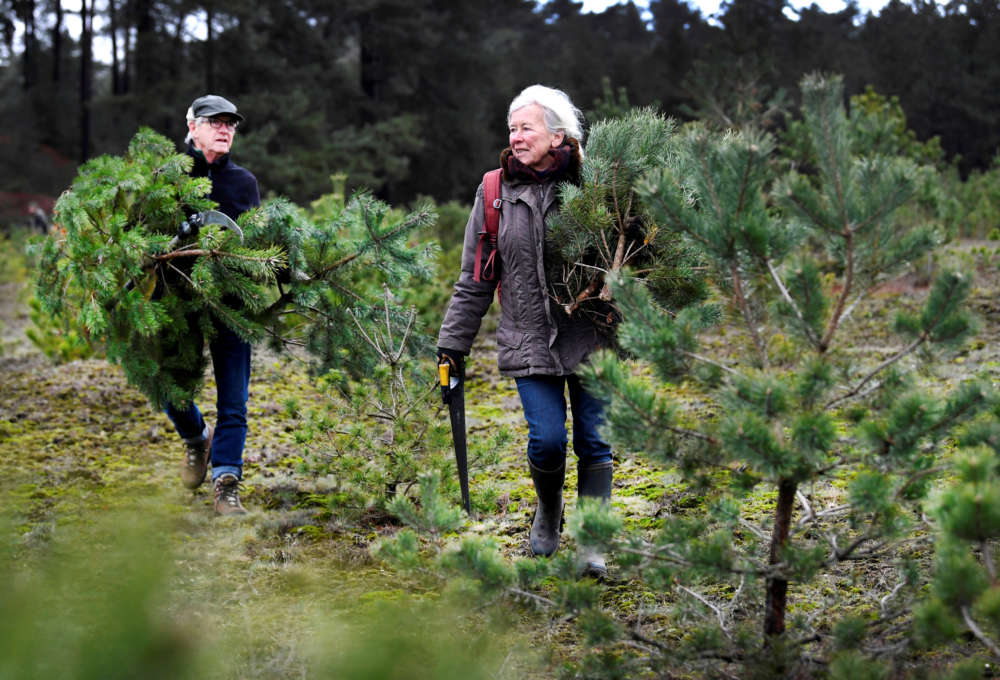 Chop-your-own Christmas trees: Dutch park makes festive free offer