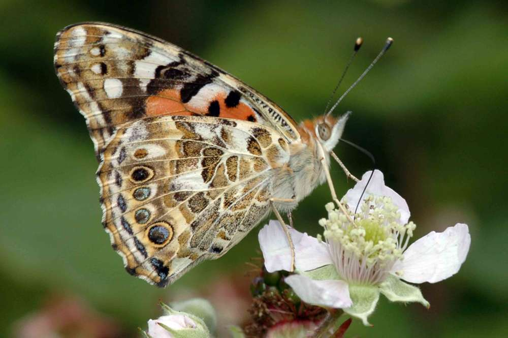 Billions of butterflies to visit Cyprus during annual migration