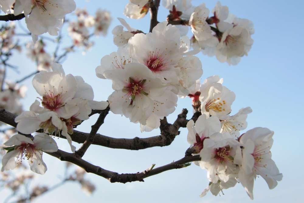 14th Almond Tree Festival