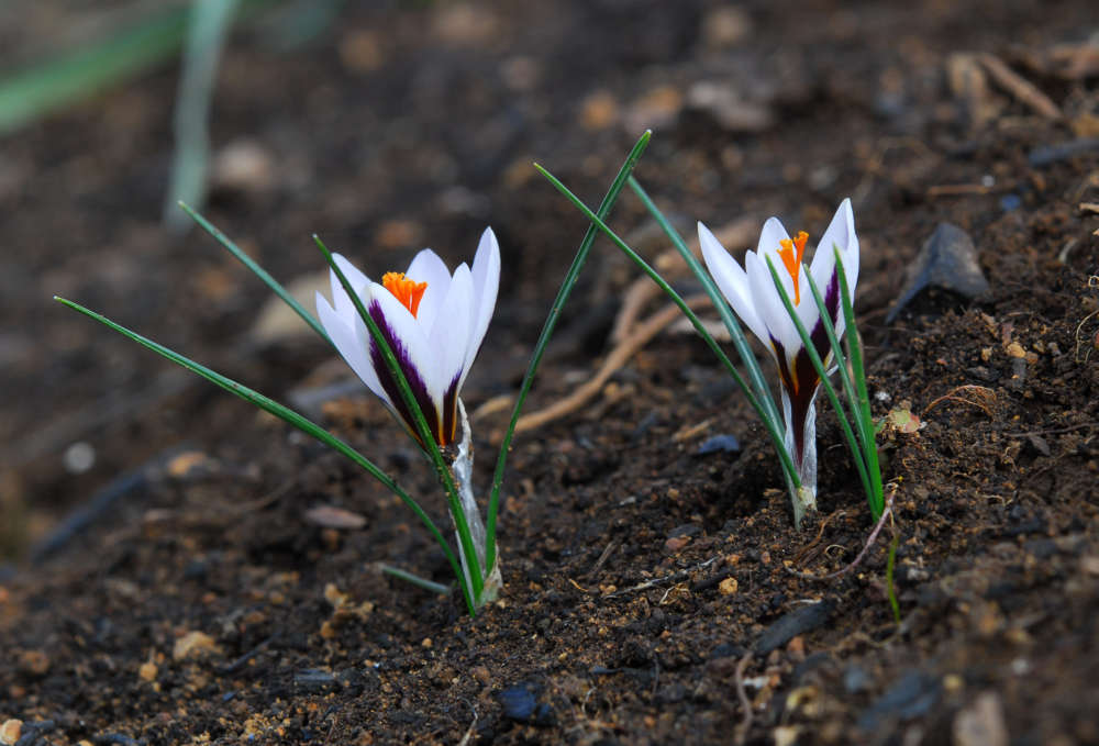 Cyprus' Crocus hartmannianus -- a rare plant endemic to the island