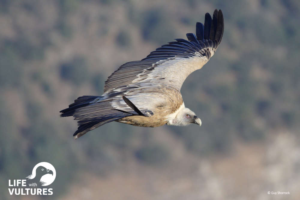LIFE with Vultures: a targeted effort to save the Griffon Vulture in Cyprus
