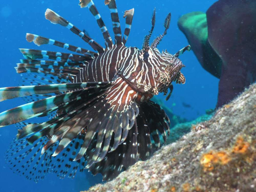 Cyprus launches cull of lionfish to stem invasion of Med