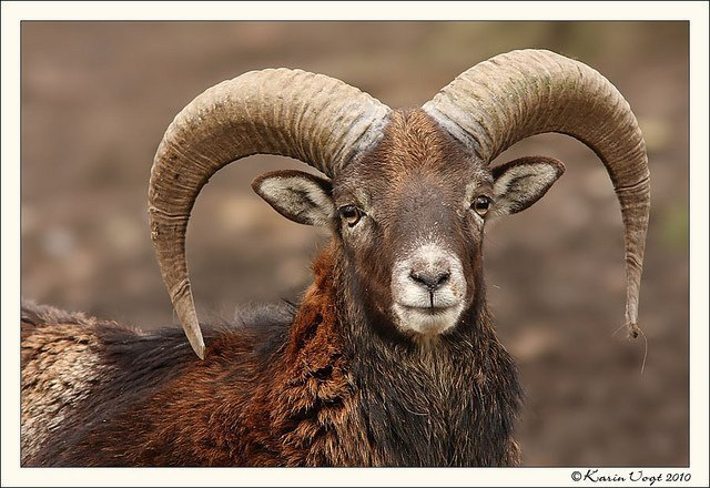 Farmers want compensation for crops as mouflon wander into village