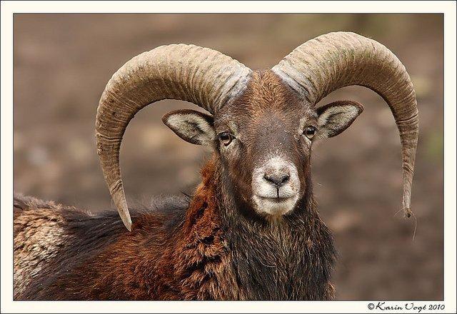 Cyprus Mouflon (agrino)