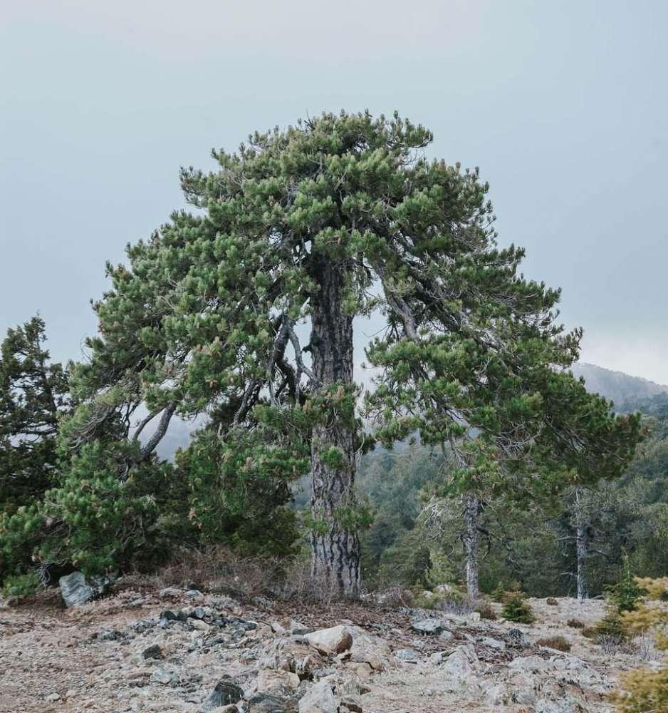 Pinus Brutia (Rough Pine)