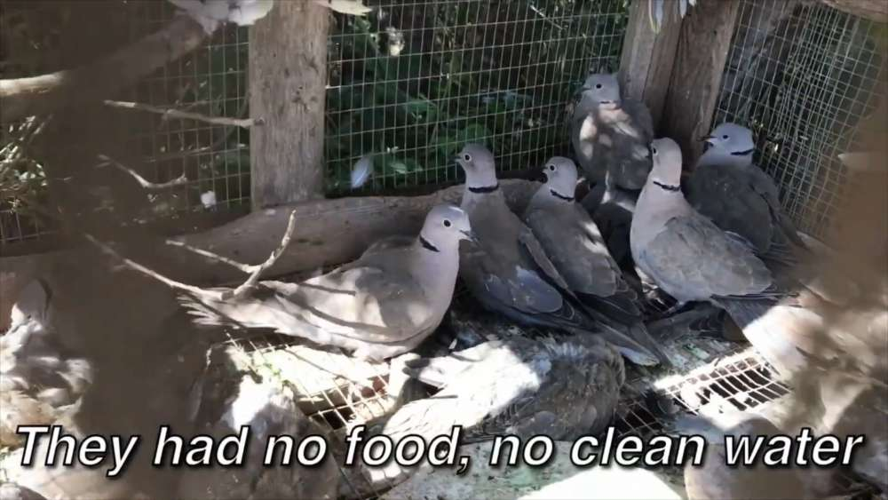 CABS releases video showing trapped doves used as live decoys for hunting