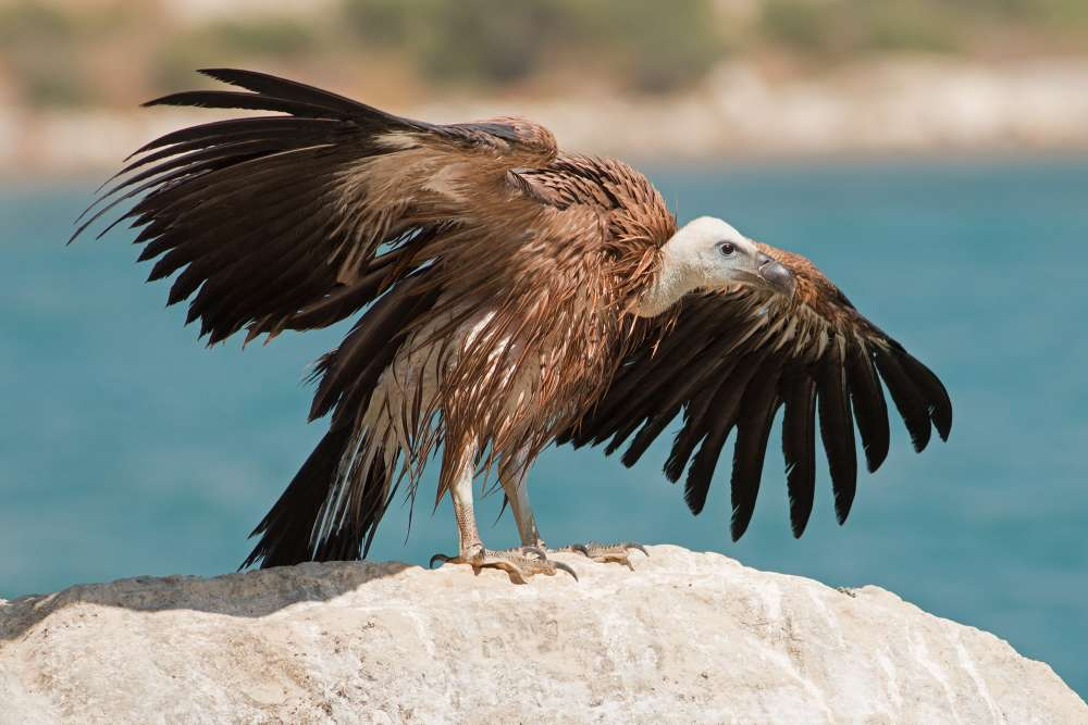 Stranded young vulture rescued at Episkopi Bay (photos)