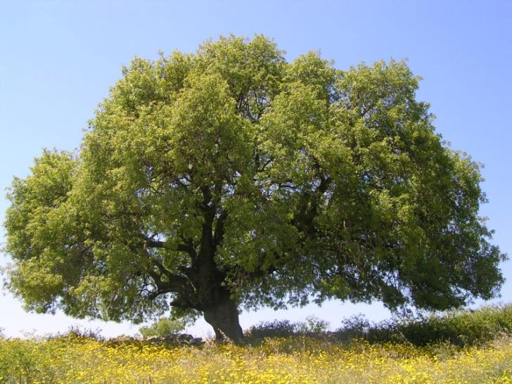 Paphos' 200-year-old tree