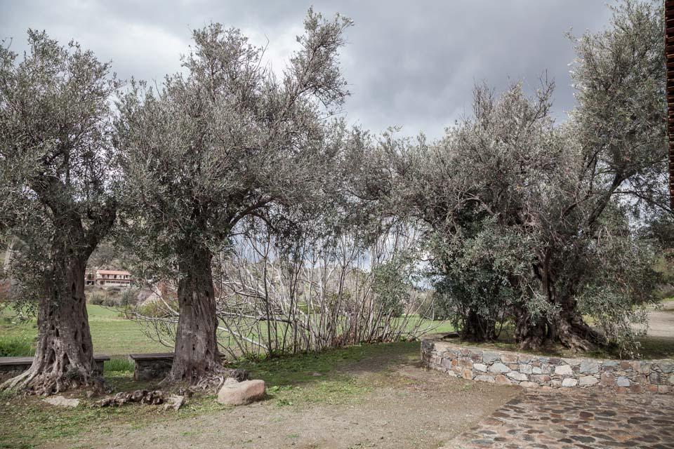 The Three Sisters Olive Tree
