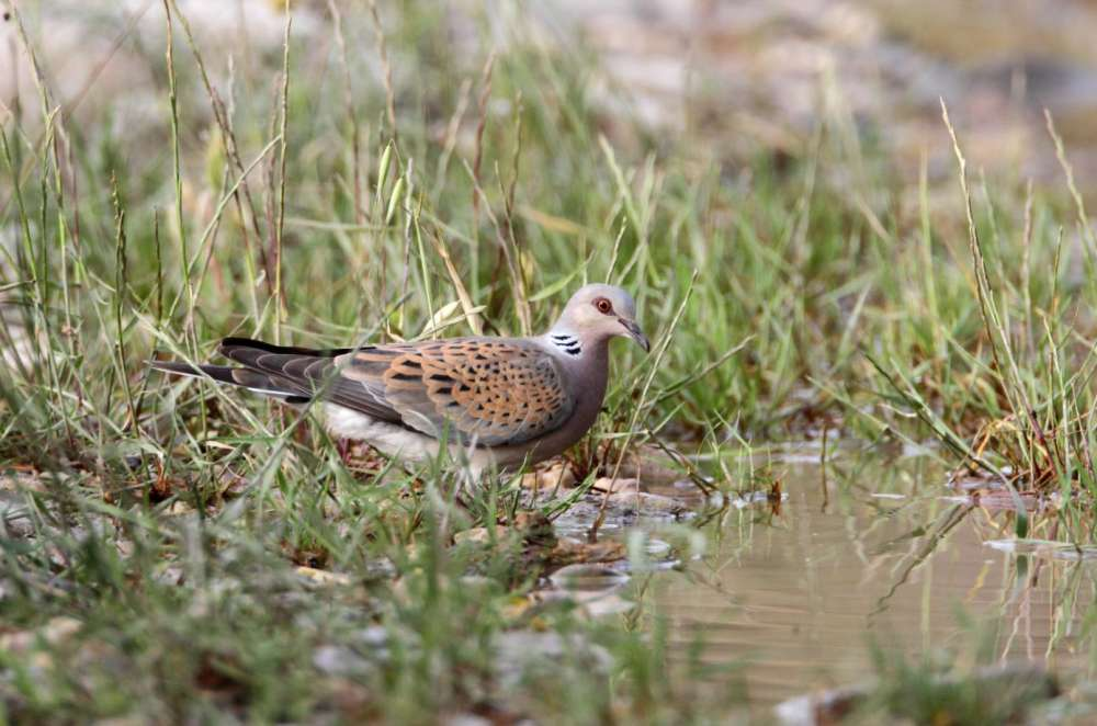 NGO slams Cyprus' move to increase hunting pressure on threatened Turtle Dove