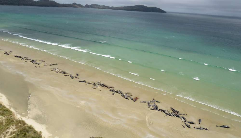Up to 145 whales die after mass stranding in New Zealand (video)