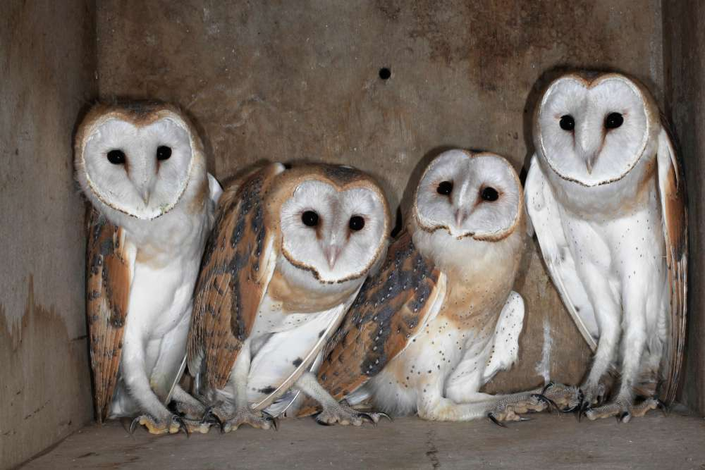 Government to use barn owls to battle rodents