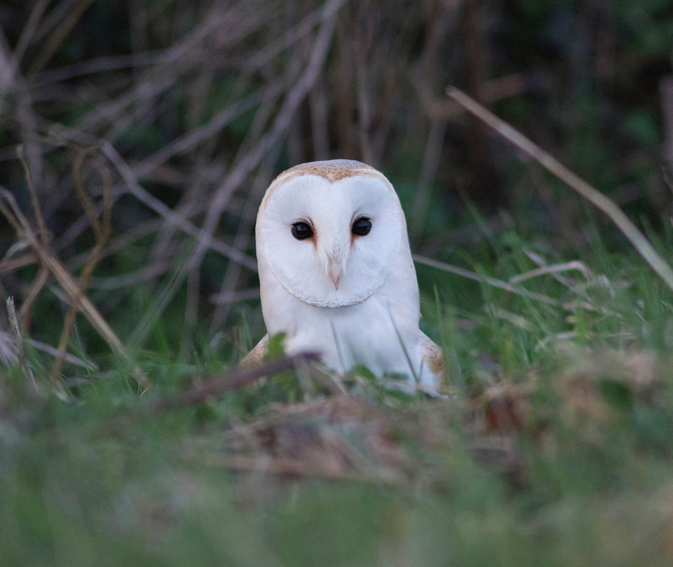 BirdLife Cyprus installs Barn Owl nest boxes in bid to replace rodenticides