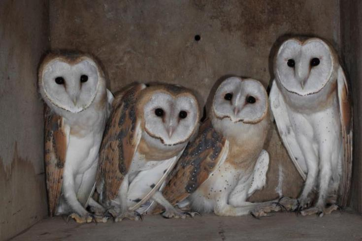 15 artificial nests for barn owls at Nicosia Airport