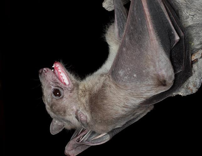 Bats: Myths and realities