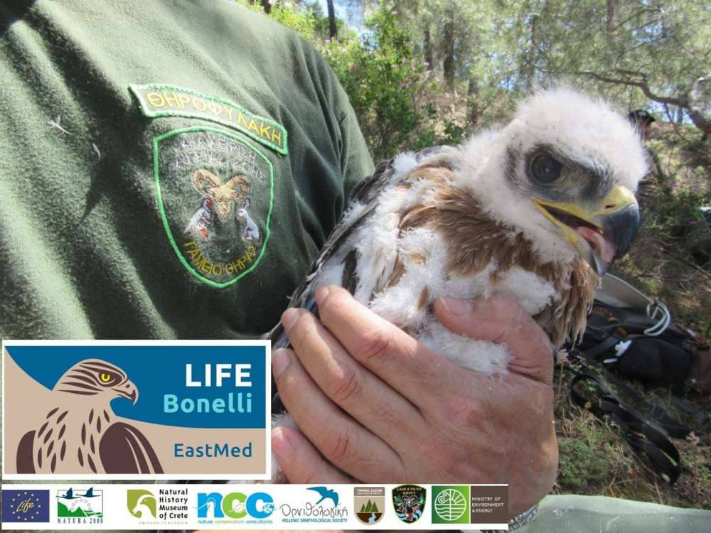 EU programme to protect Bonelli eagle in Cyprus and Greece