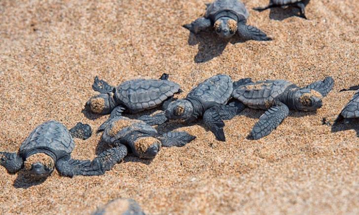 Meneou sea turtles in danger