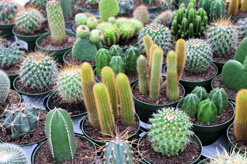 12th Annual Exhibition of Cacti and other Succulents