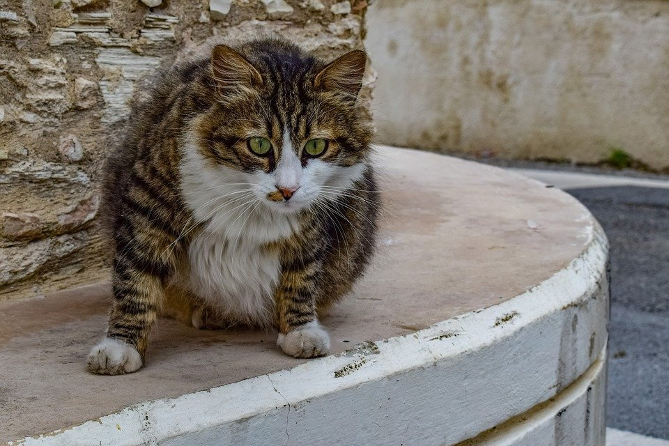 Cat, Stray, Animal, Cute, Curious, Street, Village