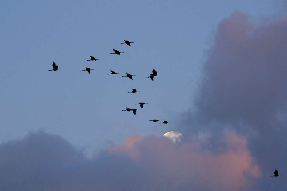 Common Cranes make
