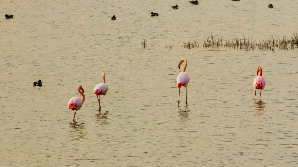 Flamingos arrive at Oroklini lake