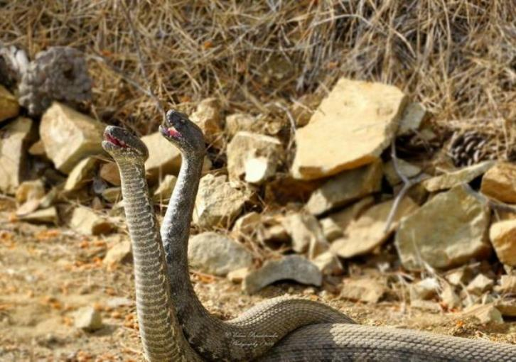A 'battle' of blunt-nosed vipers in Paphos' forest (video & pics)