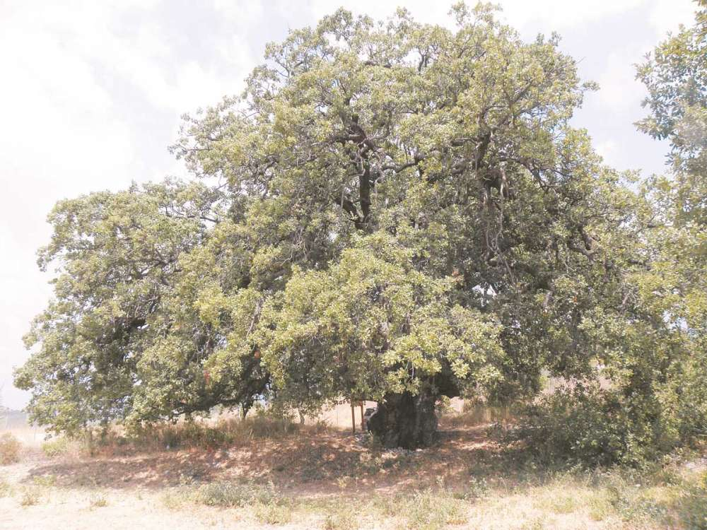 Ancient trees of Cyprus