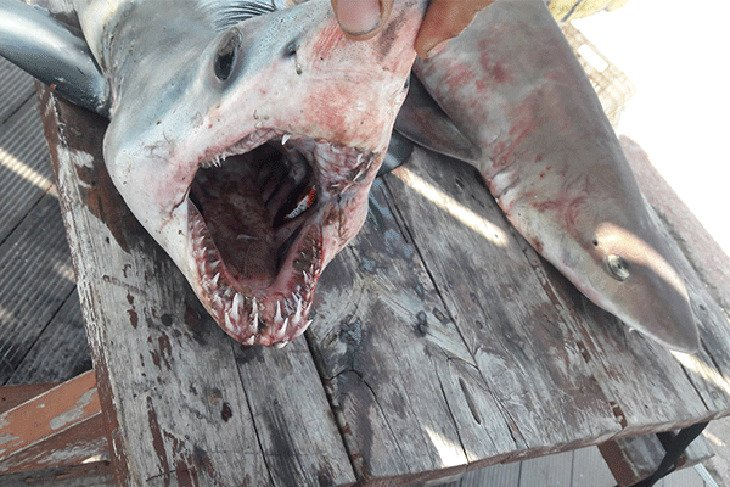 Dogfish sharks found off occupied Famagusta