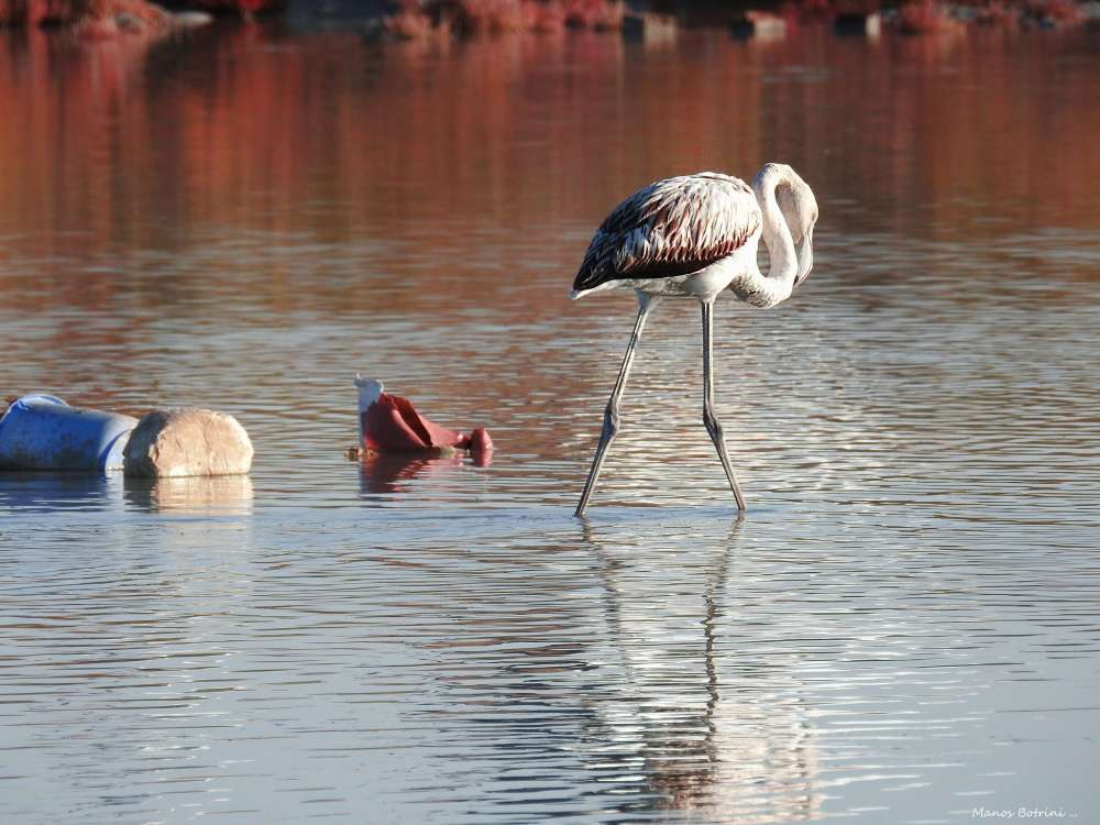 A flamingo walking in litter-strewn Akrotiri salt lake
