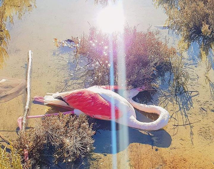 Flamingo found dead from lead poisoning in Larnaca salt lake