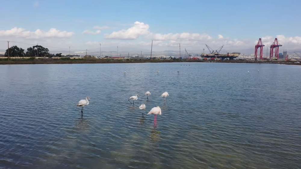 The flamingos visit Limassol (video)