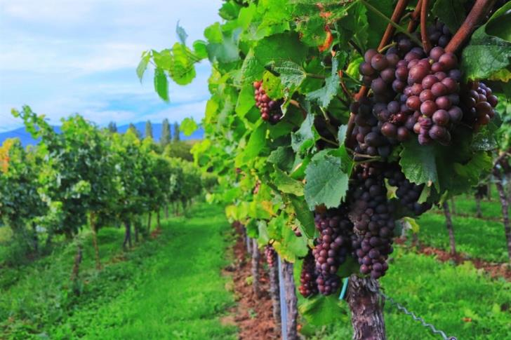 Woman killed after fall while picking grapes