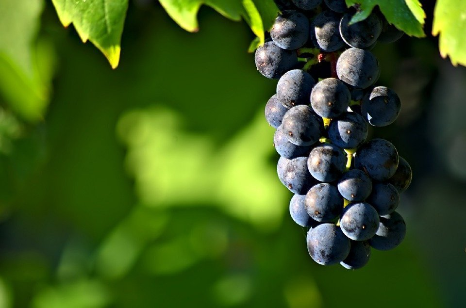 Grapes, Cluster, Ripe, Harvest, Agriculture, Winery