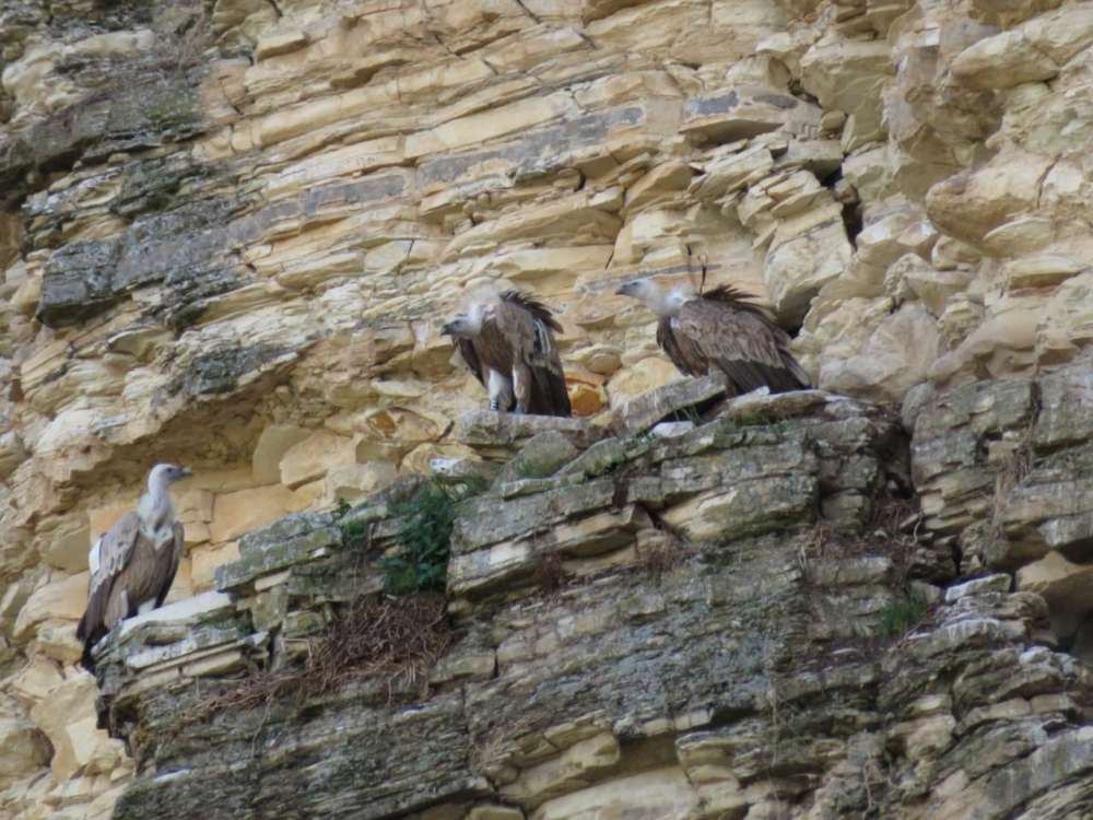 Project launched to protect Cyprus Griffon vultures