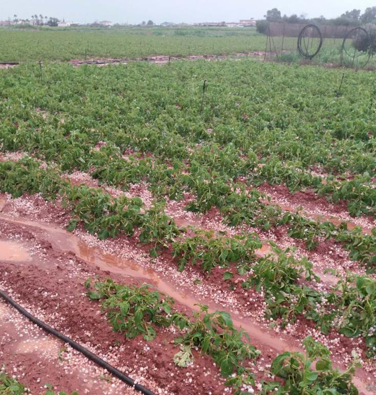 Damage to crops after hailstorms