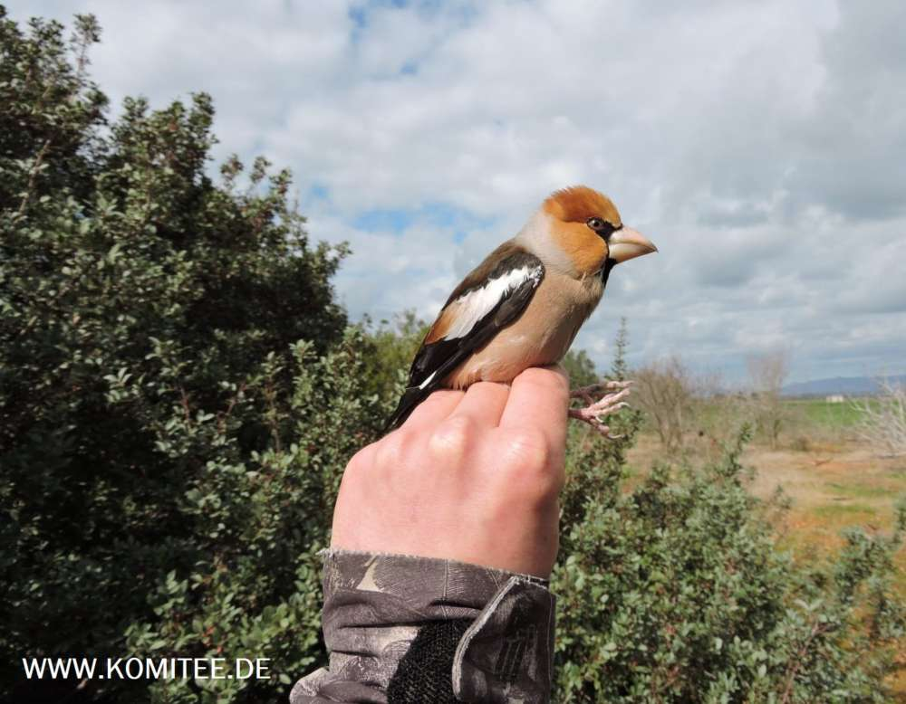 CABS volunteers rescue hawfinch from limestick