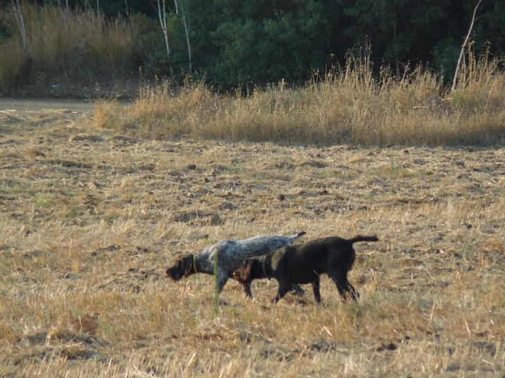Paphos: Five hunting dogs stolen at Mandria