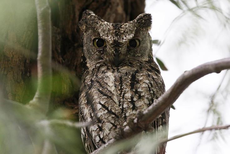Cyprus Scops Owl recognised as full species