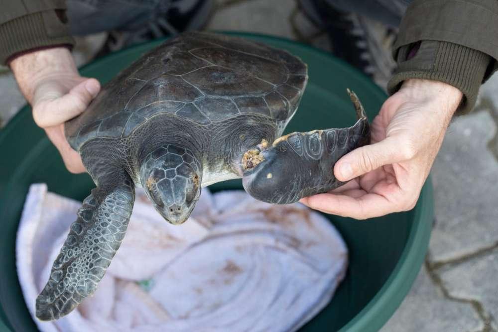 Rescued injured turtle highlights pollution risks of polypropylene sacks